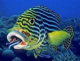 foto del pesce damigella