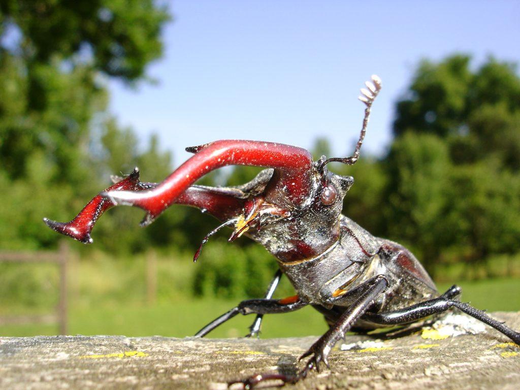 Foto dello stag beetle