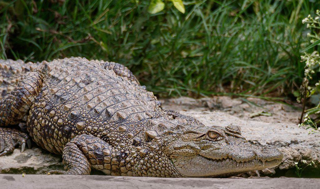 Foto di un coccodrillo