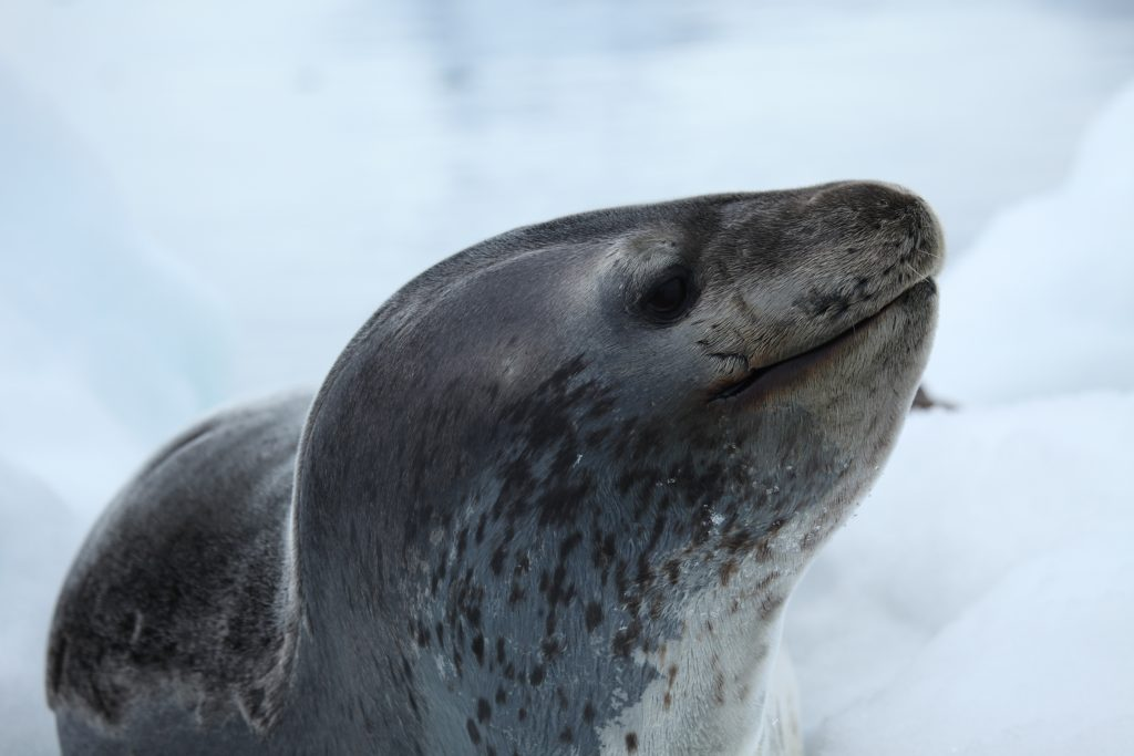 Foto di foca leopardo