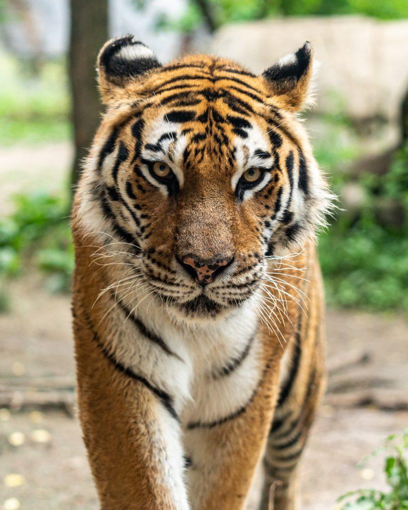 Foto della tigre indiana