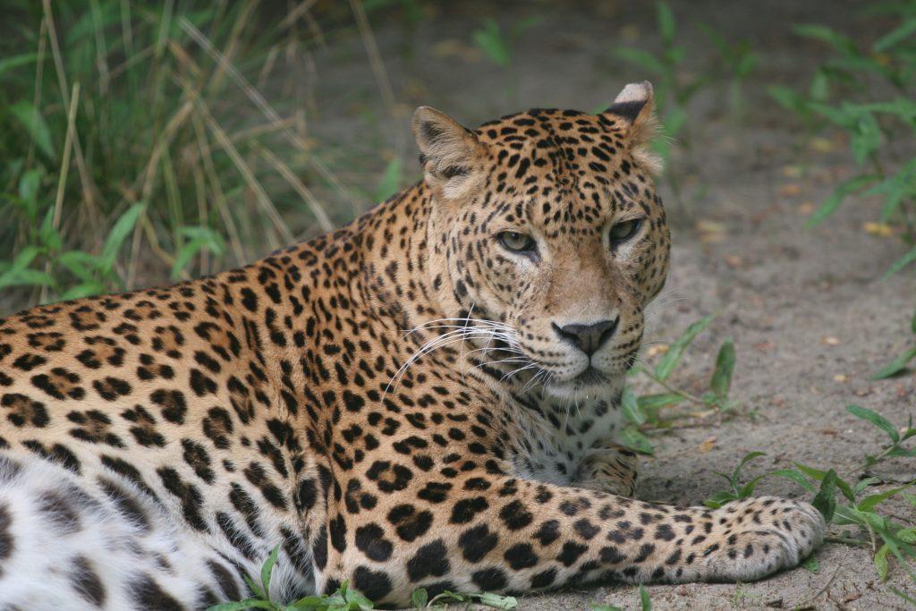 Foto del leopardo cingalese