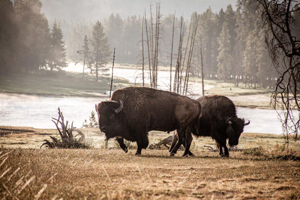 Foto del Bisonte