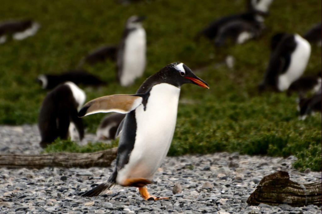 Foto di pinguini gentoo